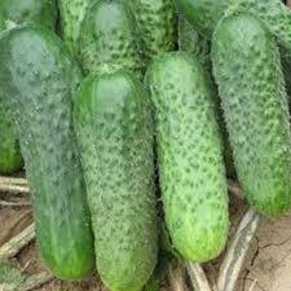 NON GMO Vegetable Seeds Cucumber Spassky Bush F1 Hybrid
