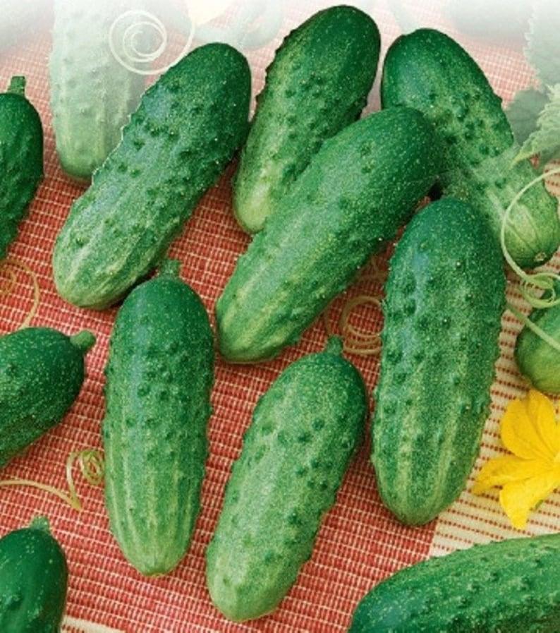 NON GMO Cucumber Rodnichok F1 Hybrid Vegetable Seeds