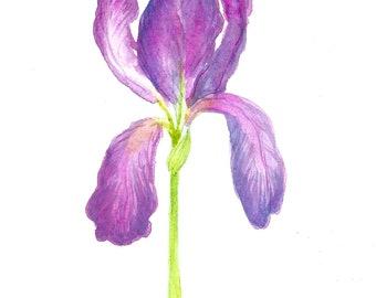 Flower iris in watercolor - Original drawing