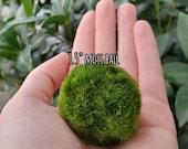 Marimo Moss Balls 1 quot -2 quot NO Zebra Mussels Live Aquarium Plant Terrarium DIY Japanese Moss Ball