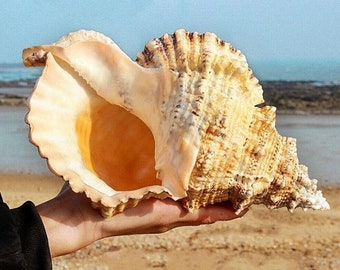 Natural Conch Shell Furnishing Marine Decoration Lovely Large Sea Shell For Decoration, Party, Gift