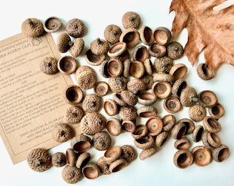 75 Assorted Acorn Caps, 4 oz, Red Oak, New Hampshire, Crafting Supplies, Rustic Decor