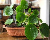 Pilea Peperomioides Chinese Money Pancake UFO Plant (Local Pickup Only)