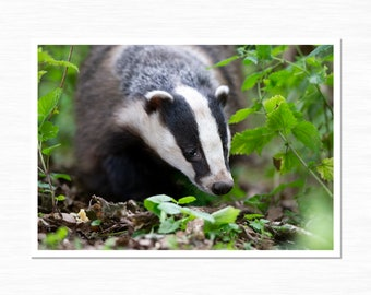 Badger Photography Print