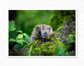Hedgehog Photography Print