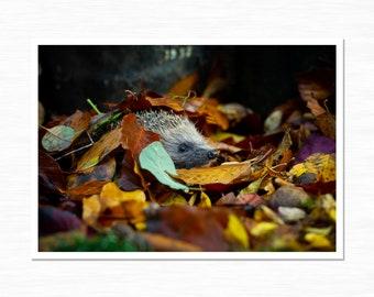 Hedgehog Photographic Print