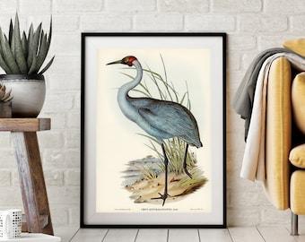 Bird Print, Bird Illustration - 'Australian Crane' - Home Décor Wall Art, Bird Art Print