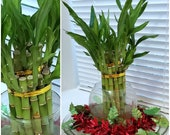 8 inches Lucky Bamboo 6 Healthy Plants, Gift, Feng Shui, Indoor Plant All Year, Bring LUCK to YOUR HOME, Perennial, Just add Purified Water