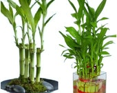 7 Lucky Bamboo Plant 4 inches Stalks, Gift, Feng Shui, LIVE PLANT, Indoor Plant, Free Shipping