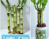 6 quot Lucky Bamboo 5 Stalks FREE Plant Food, Gift, Feng Shui, Perennial Indoor, bring GOOD LUCK to your Home, Just Add Water, Free Shipping