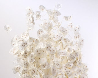 Preserved Lunaria bunch - Bleached