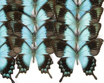 1 x Sea-Green Swallowtail Butterflies   WINGS SPREAD   Papilio lorquinianus   (A1) Set Butterfly Specimen Pinned in Box