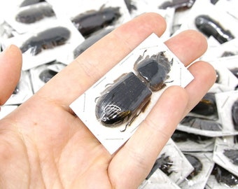 5 x Aceraius grandis, Thailand 50-60mm | Insect Specimens for Entomology Art