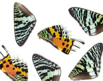 50pcs Madagascan Sunset Moth Wings   Chrysiridia rhipheus   Loose Butterfly Wings for Art