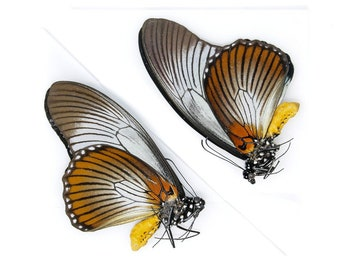 2 x The Giant Blue Swallowtail, Papilio zalmoxis A1, Unmounted Papered Butterflies, Entomology Specimens