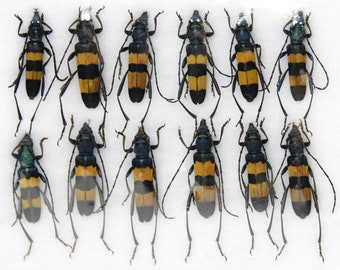 Insect Specimen Collection, Thailand 2021 (Various Coleoptera) SET#AI02