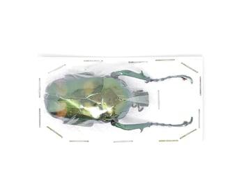 Jumnos ruckeri ruckeri 50.8mm A1 | Thailand Flower Beetle, Entomology Specimen