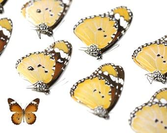 TEN (10) Asian Monarch Plain Tiger | Danaus chrysippus | Dry-preserved specimens