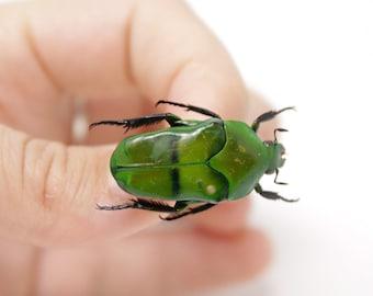 Ischiopsopha bifasciata 31.2mm, A1 Real Beetle Pinned Set Specimen, Entomology Taxidermy #OC46
