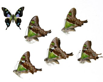 FIVE (5) The Purple Spotted Swallowtail Butterflies | Graphium weiskei | Unmounted Papered Specimens A1