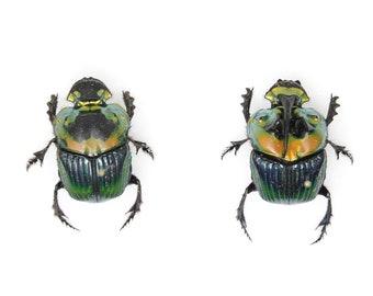 Pair Rainbow Horned Dung Beetles | Phanaeus imperator | Pinned Scarab Beetles Presented in a Gift Box