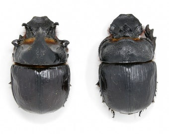 Pair of Giant Elephant Dung Beetles (2) | Heliocopris dominus A1/A-, Thailand | Entomology Specimens, SCARABS