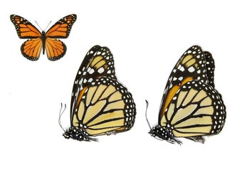 Two (2) Monarch Butterflies, Danaus plexippus, Dry-Preserved Butterfly Specimens, Ethical Taxidermy Butterflies & Insect Art Supplies