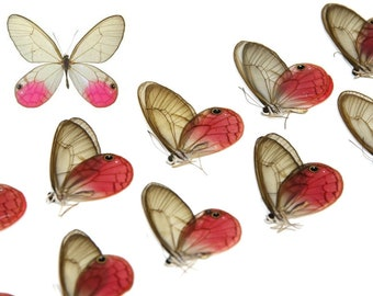FIVE (5) Pink Clearwings Butterflies, Cithaerias aurorina | Ethical Dry-Preserved Unmounted Specimens
