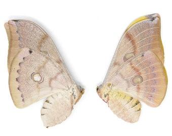 TWO (2) Thai Oak Silkmoth (Antheraea frithi) A1 Unmounted Saturnidae Moth Specimens, Entomology