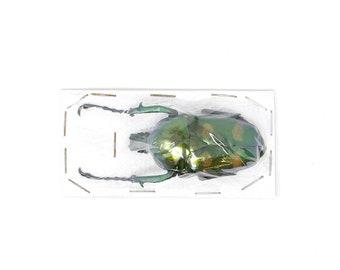 Jumnos ruckeri ruckeri 49.8mm A1 | Thailand Flower Beetle, Entomology Specimen
