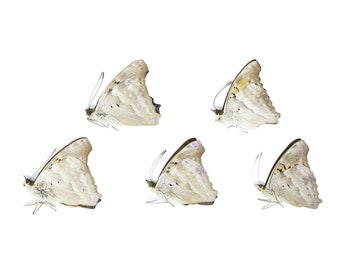 Five (5) The Turquoise Emperor, Doxocopa laurentia, Unmounted Papered Butterflies, Specimens for Collecting, Art, Entomology