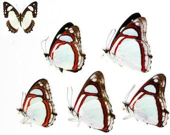 FIVE (5) Pyrrhogyra otolais - Common Redring Mint Blue. Dry-Preserved Specimens, Entomology Taxidermy Lepidoptera Butterflies