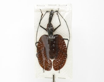 Real Violin Beetles Insects Mormolyce phyllodes, Unmounted Dry-preserved Specimens for Collecting - Entomology - Art - Taxidermy