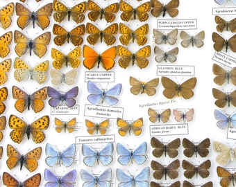 Spread Pinned Butterflies | Various Colorful & Pretty Butterflies Presented in a Gift Box | Pinned Lepidoptera Specimens | Free Shipping