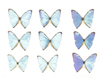 SECONDS (A-/A2) A Collection of Blue Morpho Butterflies, Pinned Spread Entomology Taxidermy Specimens