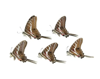 5 x Dark Zebra Swallowtail | Protographium philolaus | Dry-Preserved Unmounted Butterfly Specimens A1