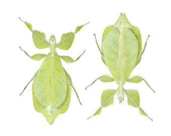 Two (2) Giant Leaf Insects, Phyllium celebicum, Unmounted Spread Phasmids, Insect Specimens for Collecting, Art, Entomology