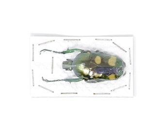 Jumnos ruckeri ruckeri 34.7mm A1 | Thailand Flower Beetle, Entomology Specimen