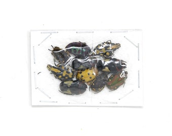 Pack of 10 Small Colorful Beetles, Real Dry-Preserved Unmounted Tropical Beetle Specimens, Entomology, Collecting Insects, Arts & Crafts