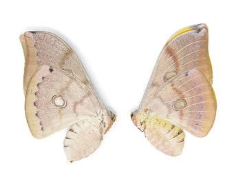 WHOLESALE 10 Thai Oak Silkmoth (Antheraea frithi) Unmounted Saturnidae Moth Specimens for Collecting Art Entomology