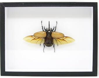 Male 5 Horn Giant Rhino Beetle Specimen A1   Museum Entomology Box Frame   12x9x2 inch