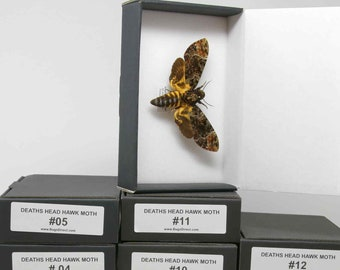 Deaths Head Hawkmoths | Acherontia lachesis or A. atropos | Dry-Preserved Mounted Specimens