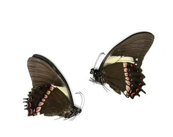 2 x Papilio aristeus bitias | Dry-Preserved Unmounted Butterfly Specimens A1