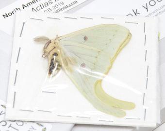 A North American Moon Moth A1- | Actias Luna | Taxidermy Insect Art Supplies