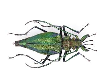 Psalidognathus friendii FEMALE Colombia, A1 Entomology Set Pinned Real Beetle Specimen #OC113