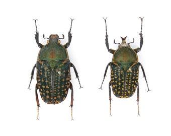 Megalorrhina harrisi PAIR, A1 Real Beetle Pinned Set Specimen, Entomology Taxidermy #OC53
