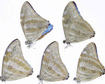 FIVE (5) Morpho adonis | Blue Morpho Iridescent Butterflies | Dry-preserved papered specimens