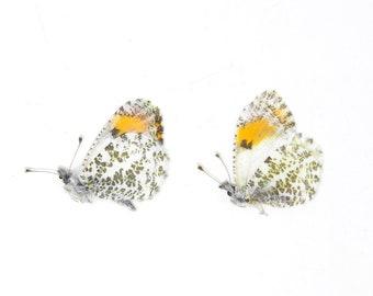 Two (2) Sara Orange-tip Butterfly PAIR, Anthocharis sara   Unmounted Papered Butterflies   San Diago