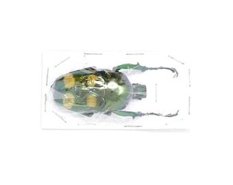 Jumnos ruckeri ruckeri 50.5mm A1 | Thailand Flower Beetle, Entomology Specimen