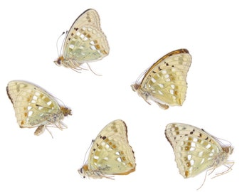 Five (5) High Brown Fritillary, Argynnis adippe, Unmounted Papered Butterflies, Specimens for Collecting, Art, Entomology